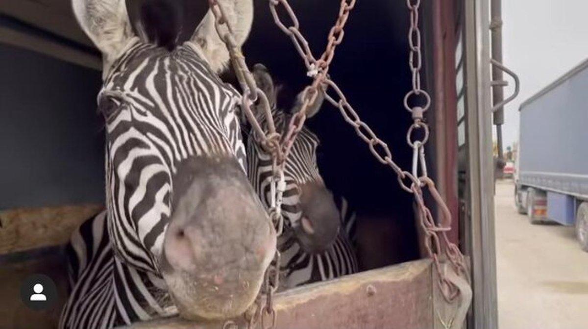 مرگ گورخر آفریقایی در باغوحش صفادشت