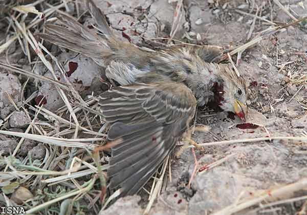 چرا گنجشک ها در ایران تخم نمی گذارند؟