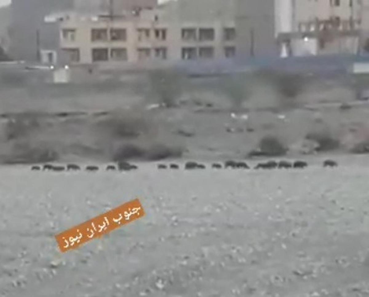 تصویری اسفناک از گرازهای وحشی تشنه  عبور گرازهای وحشی تشنه در منطقه شهری میناب!