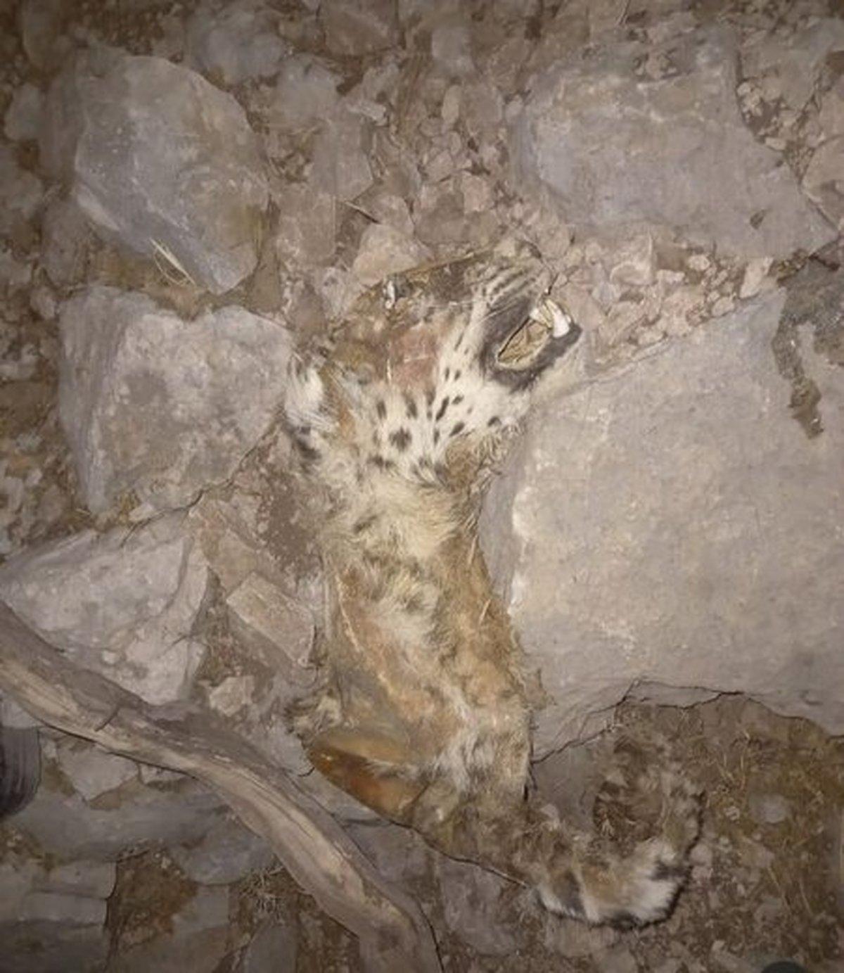 تصویردلخراش از لاشه یک قلاده پلنگ ایرانی  + عکس