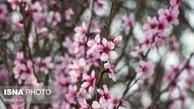 بهار شهرکرد و گیلان| شکوفه های بهاری شهرکرد و گیلان+عکس