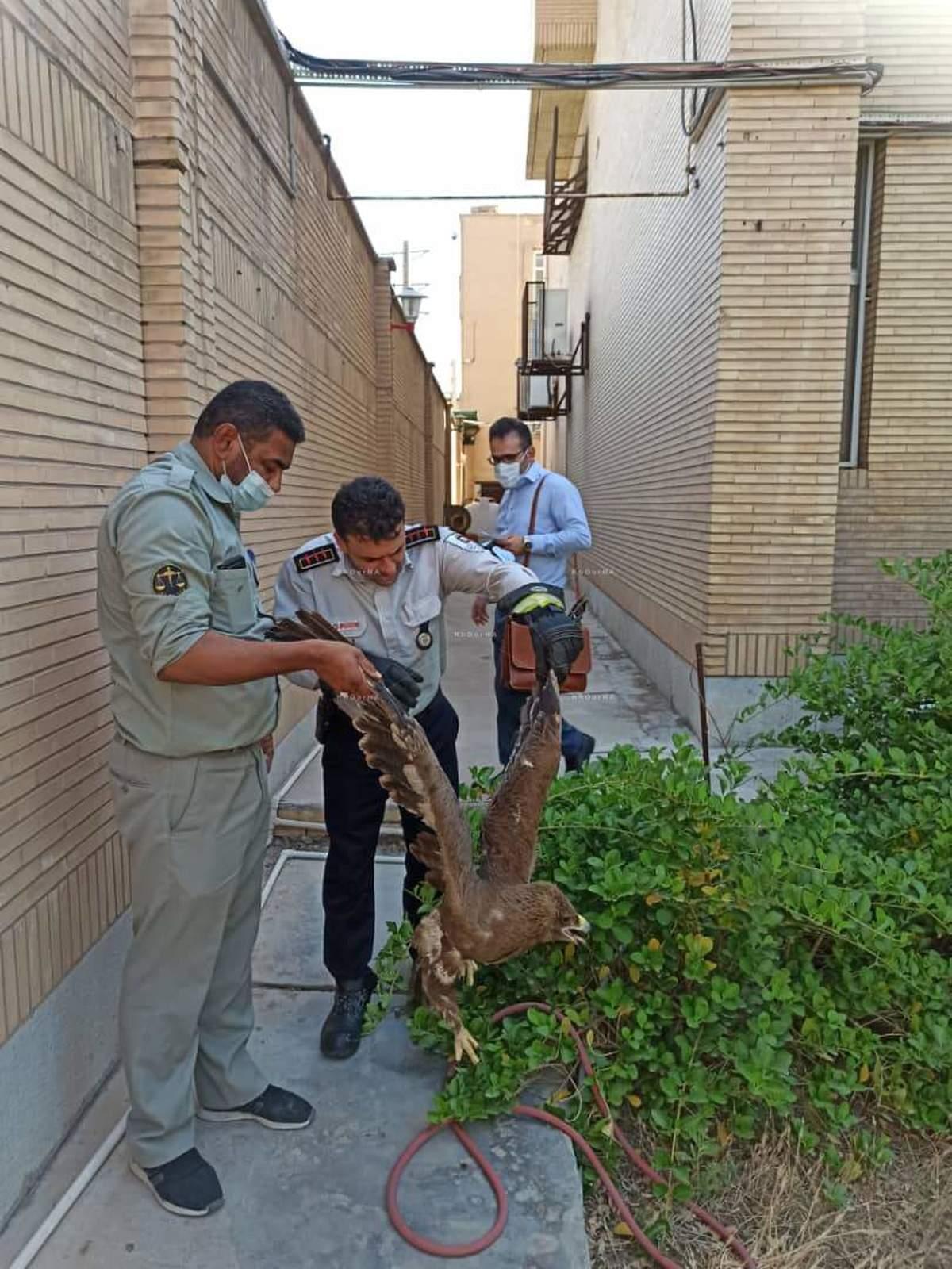 شکار یک بهله عقاب در منزل مسکونی در  پادادشهر  اهواز