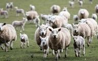 متهم اصلی بحران گوسفند
