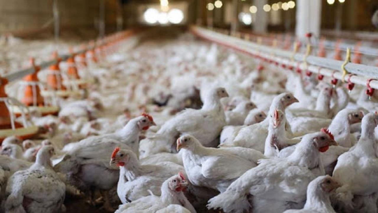 دامپزشکی  |   ۹۶۰ هزار قطعه از طیور به دلیل ابتلا به آنفلوانزای حاد پرندگان معدوم شدند