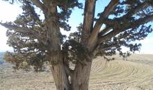 درخت کهنسال به ثبت ملی رسید