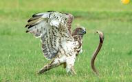 عقاب، مار کبرا را دو تکه کرد و بلعید