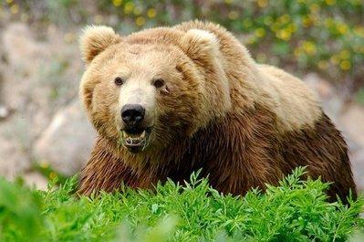 جریمه ۷۵ میلیون تومانی برای شکار خرس قهوهای