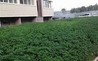 تمایل قاچاقچیان به کشت ماریجوانا در مزارع