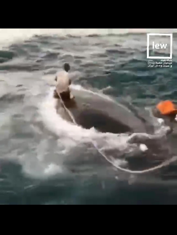 نجات عجیب یک نهنگ توسط یک ایرانی!
