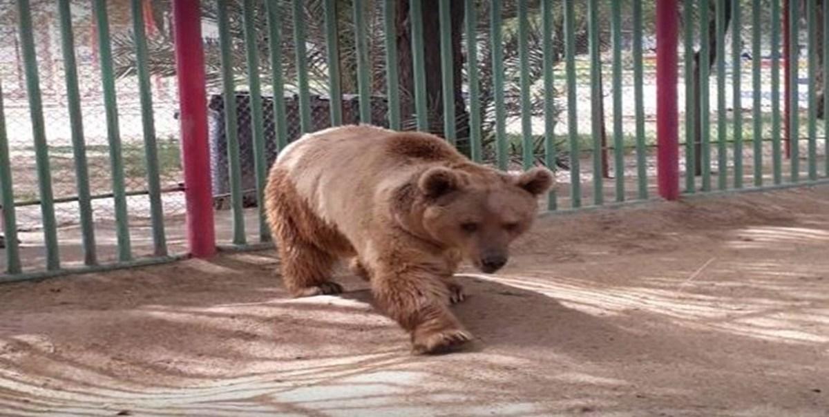 خرس فراری به باغ وحش برگردانده شد