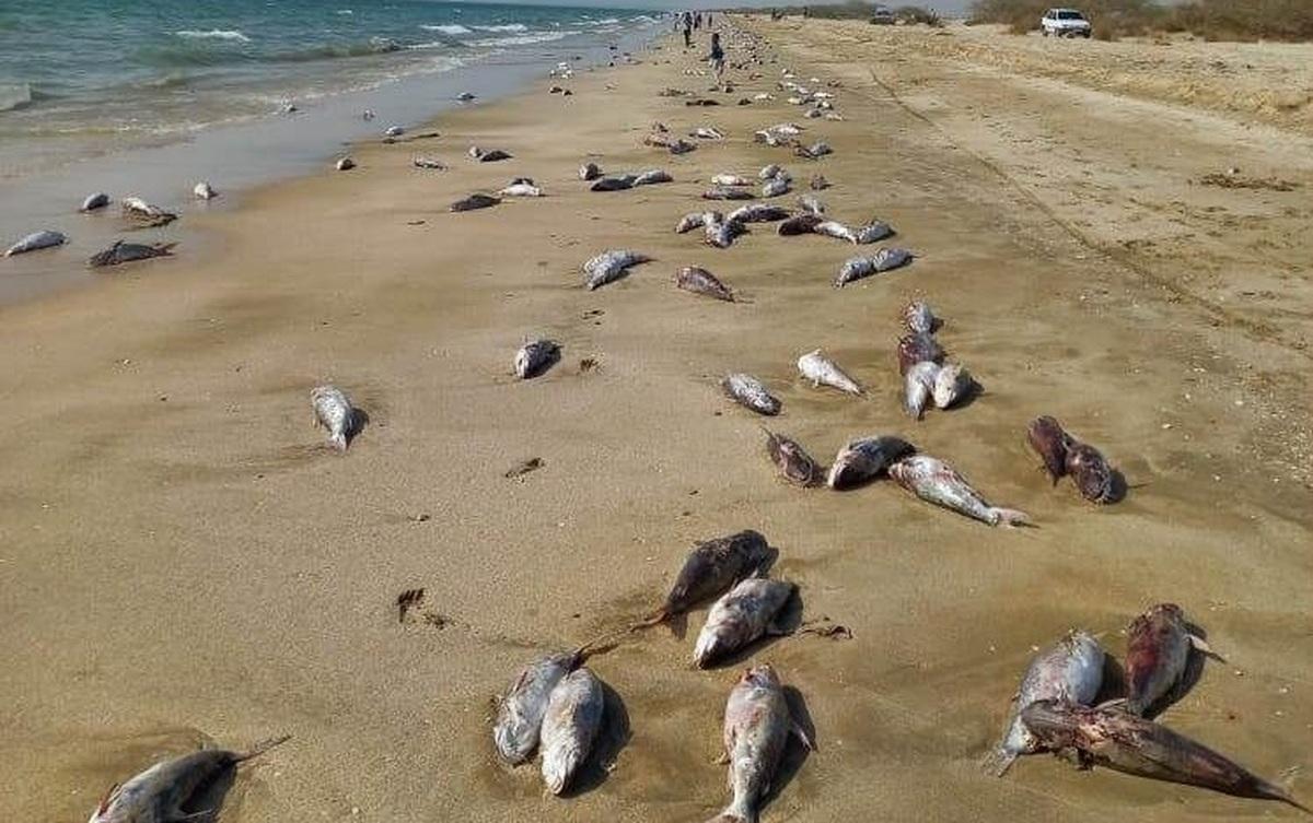 تخمین بیش از ۱۰تن لاشه تلف شده گربه ماهی در ساحل جاسک هرمزگان