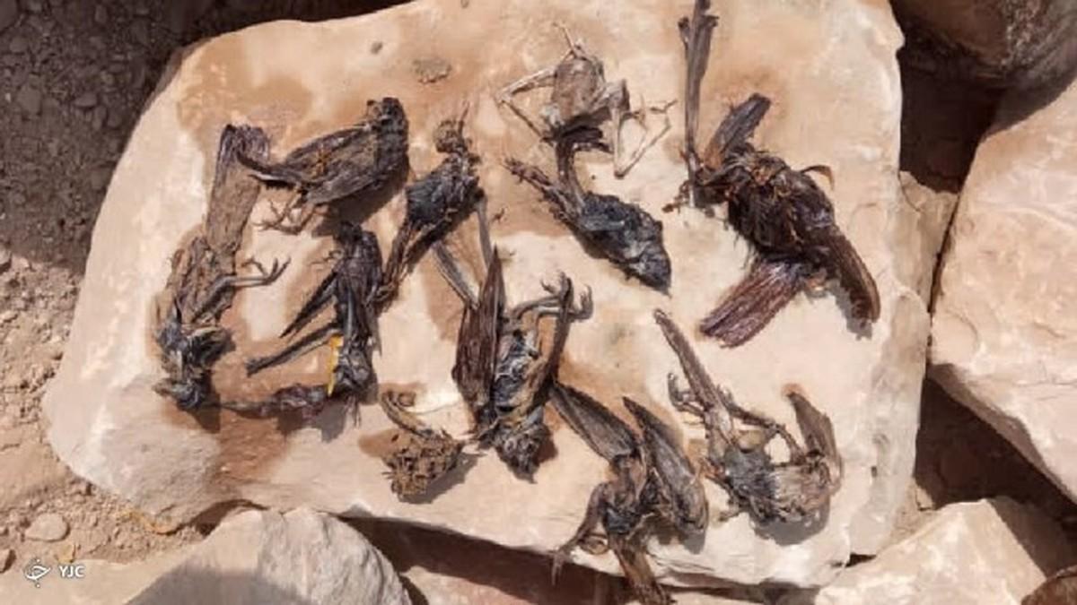 مرگ پرندگان در ساحل گناوه