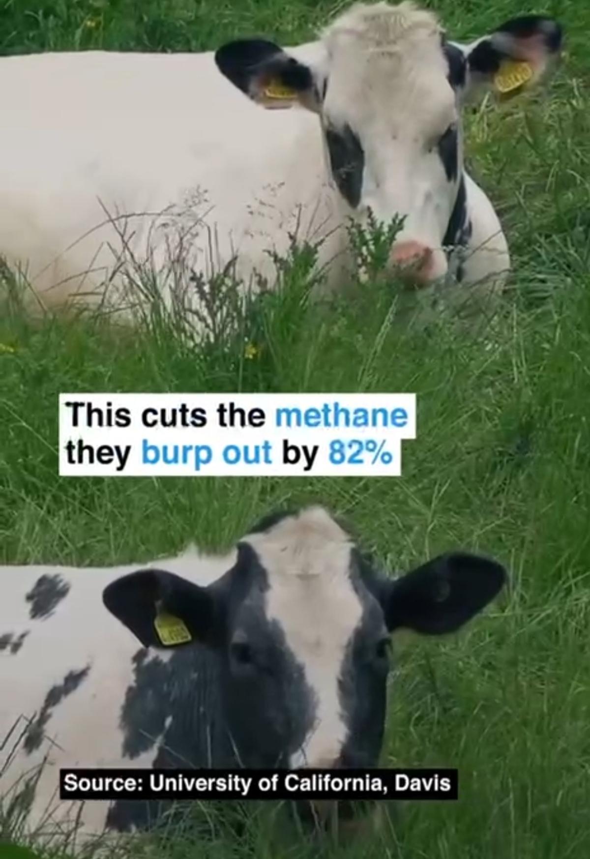 تاثیر تغذیه گاوها با جلبک + ویدئو