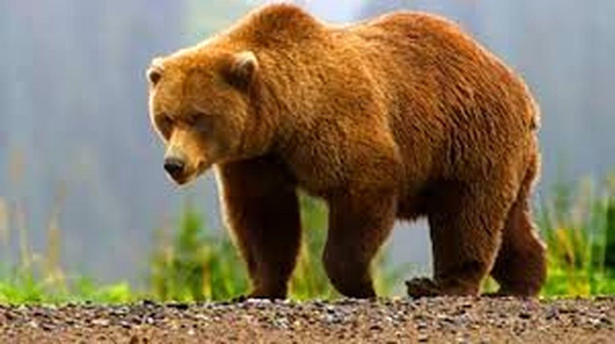 دستور کشتن خرس مهاجم داده شد