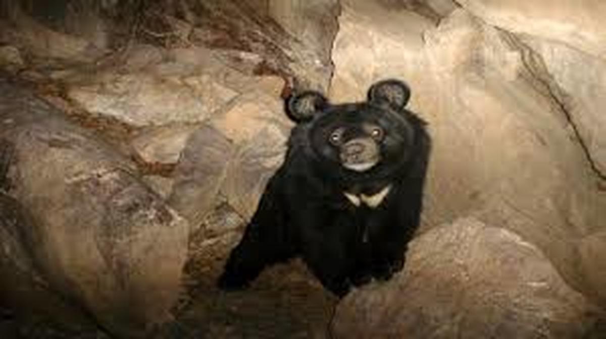 یک معدن و نگرانی برای خرسهای «مم»