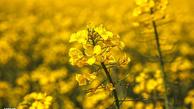 ۲ شرط مهم خوداتکایی در تولید دانههای روغنی