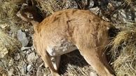 علت مرگ تعدادی از حیات وحش پارک ملی سالوک در اسفراین مشخص شد
