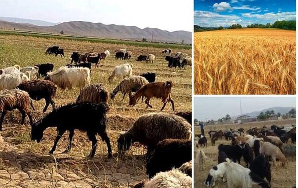 کشاورزان گیر بی تدبیری دولت در خرید گندم هستند  وقتی مزارع گندم خوراک دام ها شد!