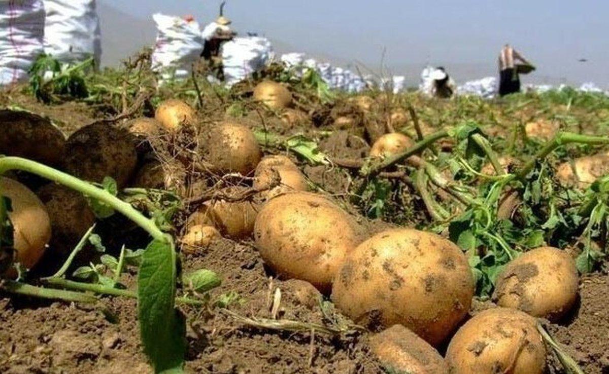 خبرهای مهم درباره سیبزمینی| قیمت سیبزمینی افزایش می یابد؟