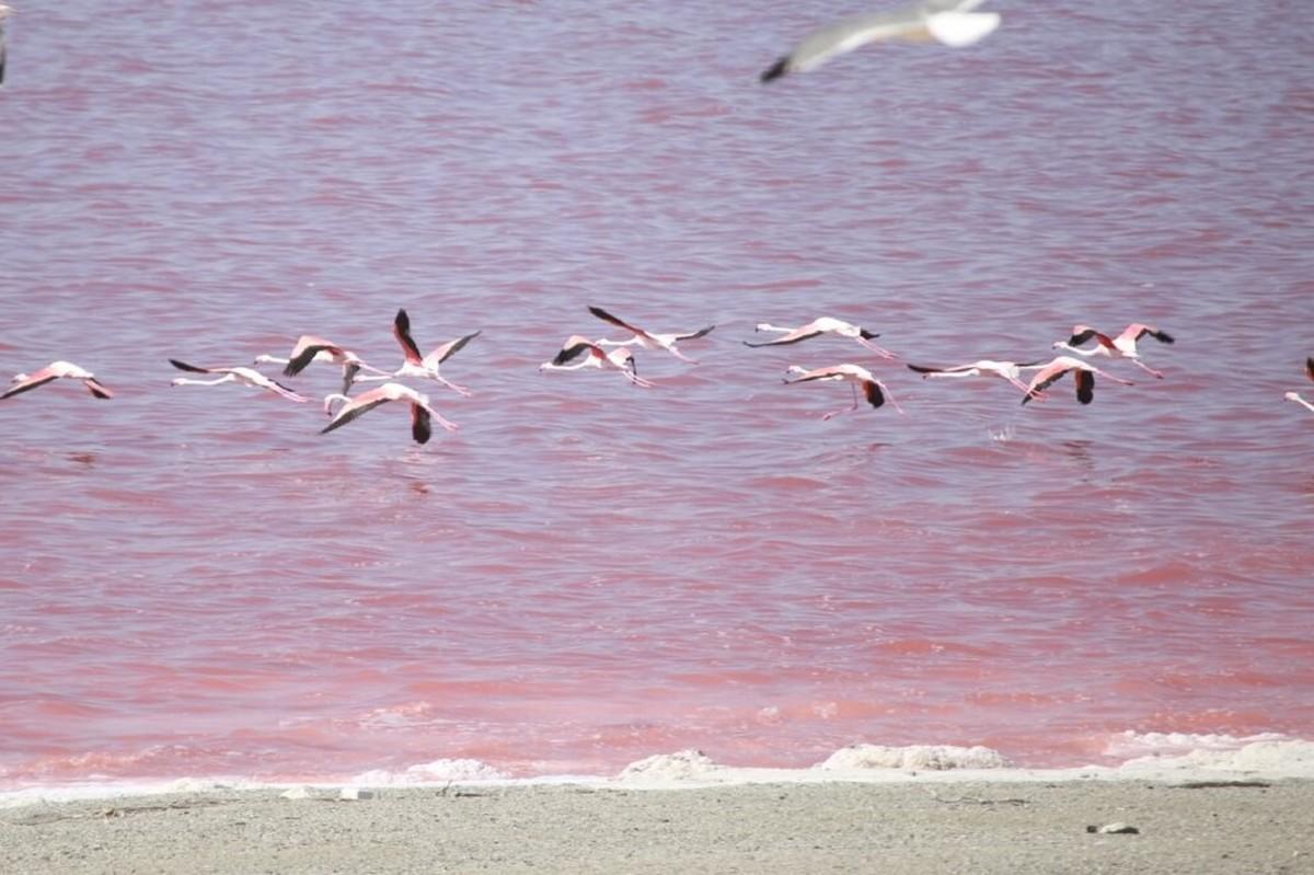 علت تغییر رنگ دریاچه ارومیه رشد نوعی جلبک بومی است