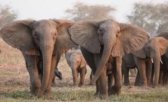 ازدستدادن عاج؛ واکنش تکاملی فیلهای آفریقایی به شکارچیان