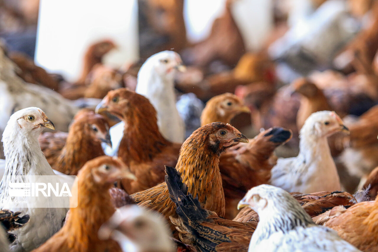 هشدار دامپزشکی خوزستان  |   مرغ زنده نخرید