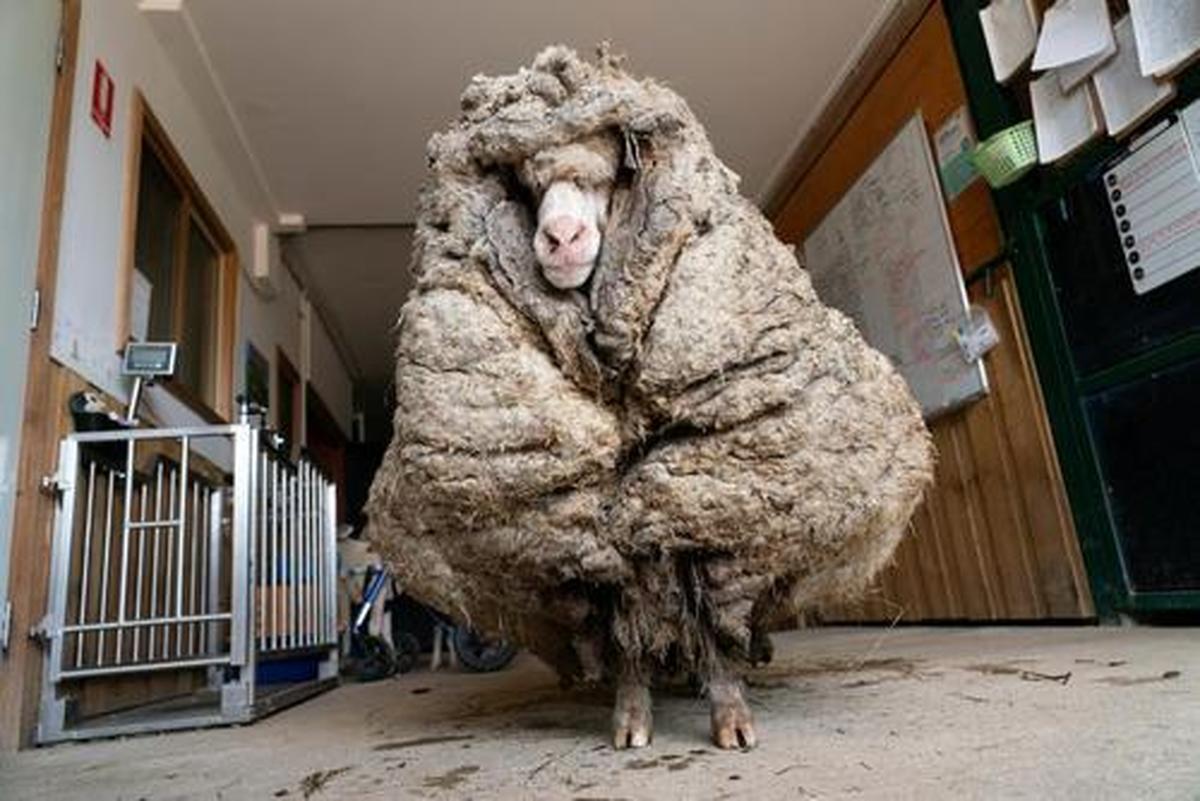 """دیدنی های امروز؛ از گوسفند پُرپشم استرالیایی تا تصادف شدید """"تایگر وودز"""""""