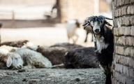 رئیس اتحادیه گوشت گوسفندی: پاییز فصل مناسبی برای صادرات دام نیست