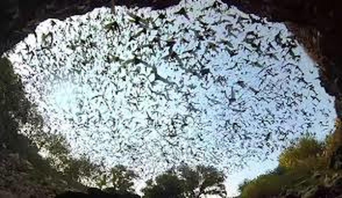 جستجوی منشاء کرونا در غار خفاشها
