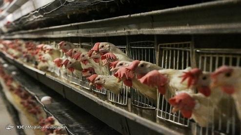 امروز نرخ هر کیلو مرغ  ۱۹ هزار تومان است.