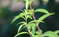 با گیاهی موثر سیستم ایمنی بدن خود را تقویت کنید