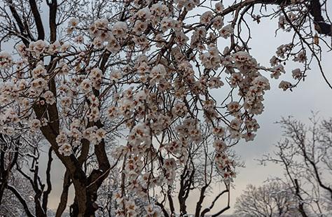 تصاویر حیرت انگیز از شکوفههای برفی| شکوفه های برفی درختان بادام یخ زدند
