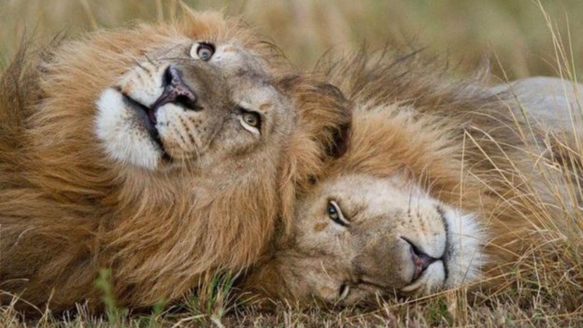 برادران تنی: شیرهای سابی سند (مستند)