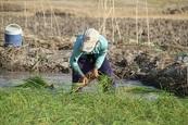 ممنوعیت برداشت برنج از مزارع آلوده به آب فاضلاب در دورود لرستان