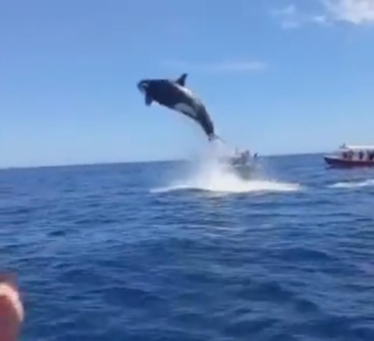 """پریدن """"نهنگ قاتل"""" به ارتفاع 5 متر از سطح دریا  + ویدئو"""