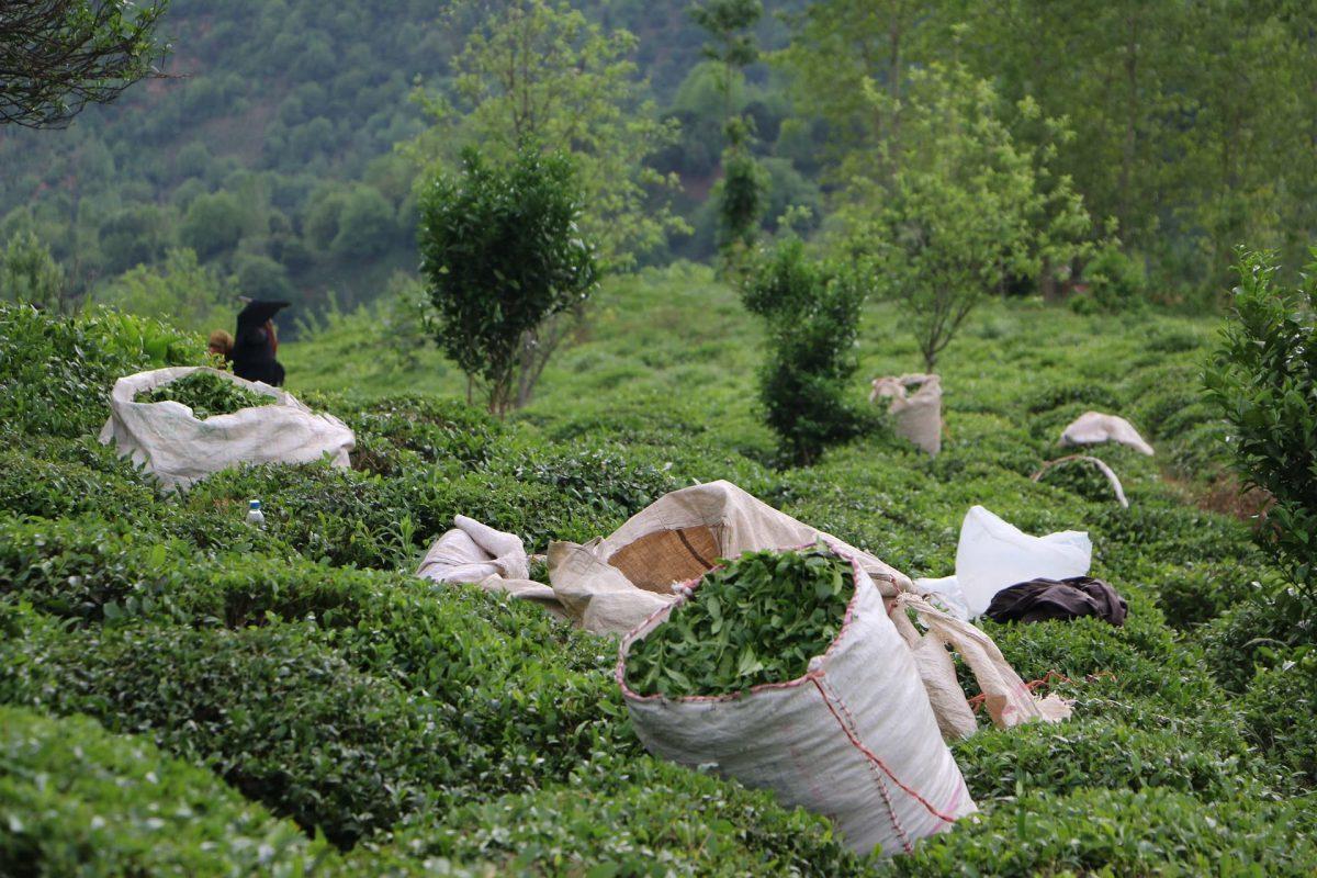 هر کیلوگرم چای داخلی از ۱۰۰ تا ۱۸۰ هزار تومان