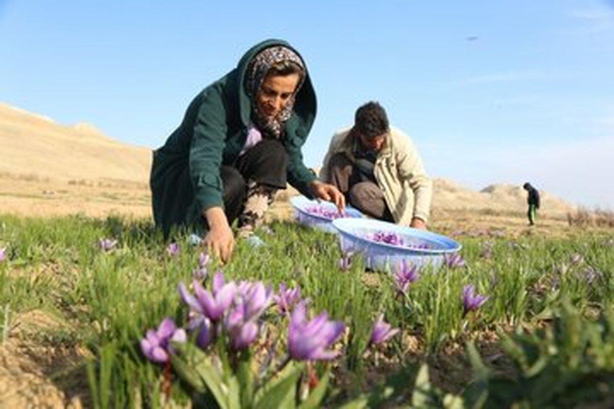 برداشت زعفران در روستای «عسگرآباد کوه» ارومیه