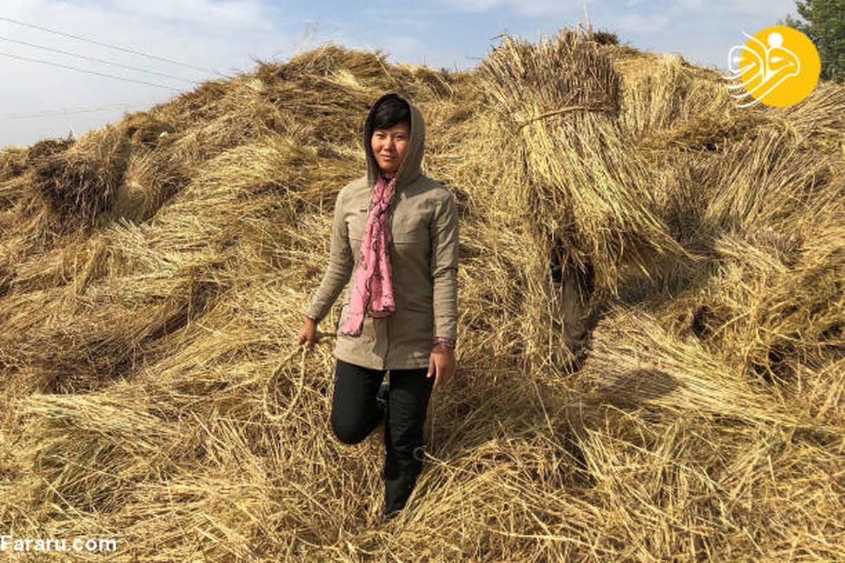 برداشت محصولات کشاورزی در کره شمالی