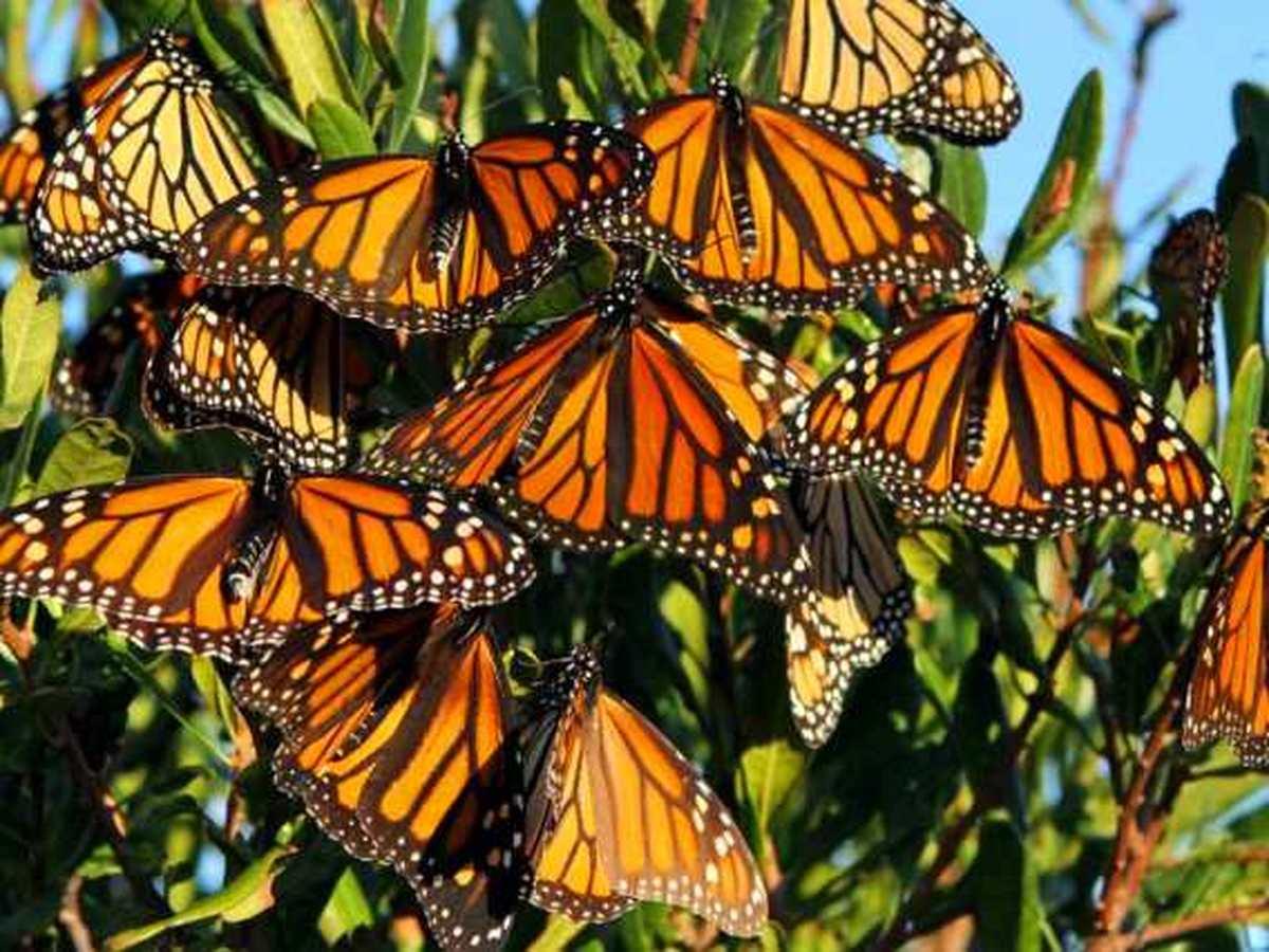 ویدئو؛ «پروانههای شهریار» به مکزیک رسیدند