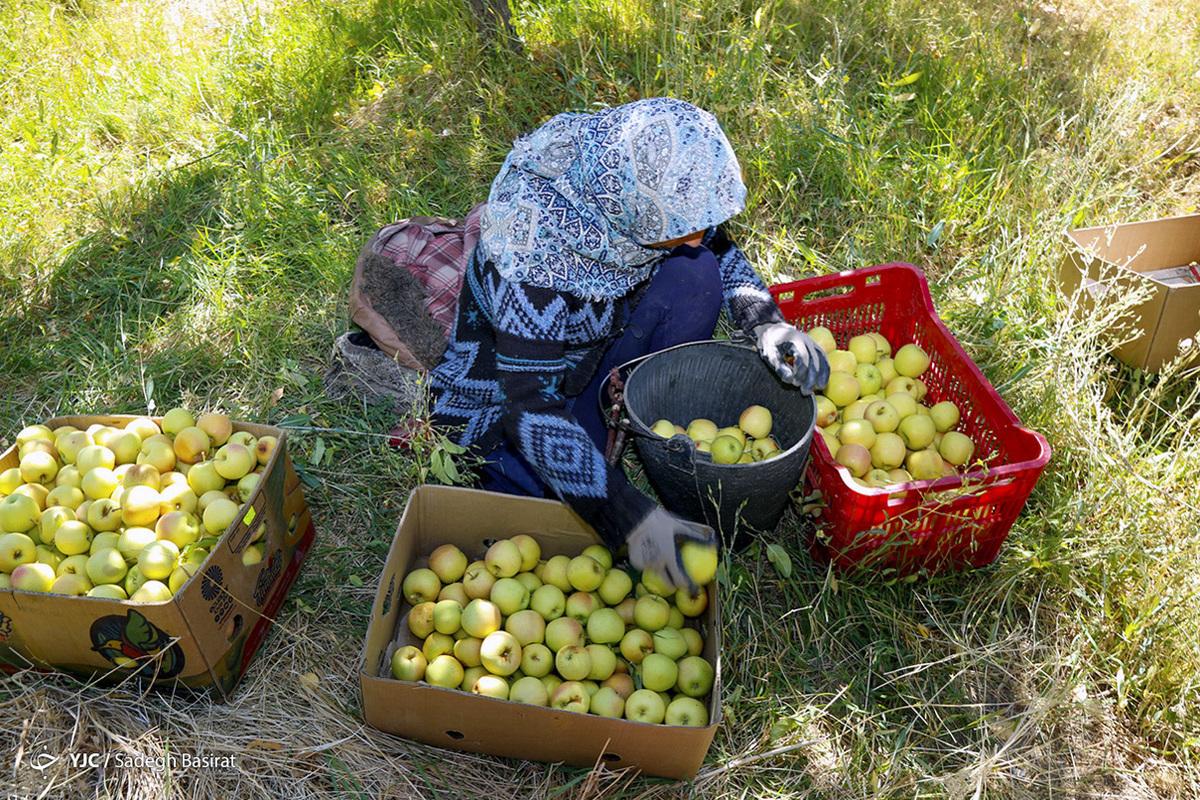 صادرات سیب ایران با حجم 884 هزار و 798 تن  در سال 1399