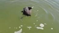 تصاویر دردناک از مرگ پرندگان در میانکاله + ویدئو
