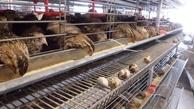 بلدرچین در بازار کمیاب شد | یک کیلو بلدرچین همقیمت ۵ کیلو مرغ