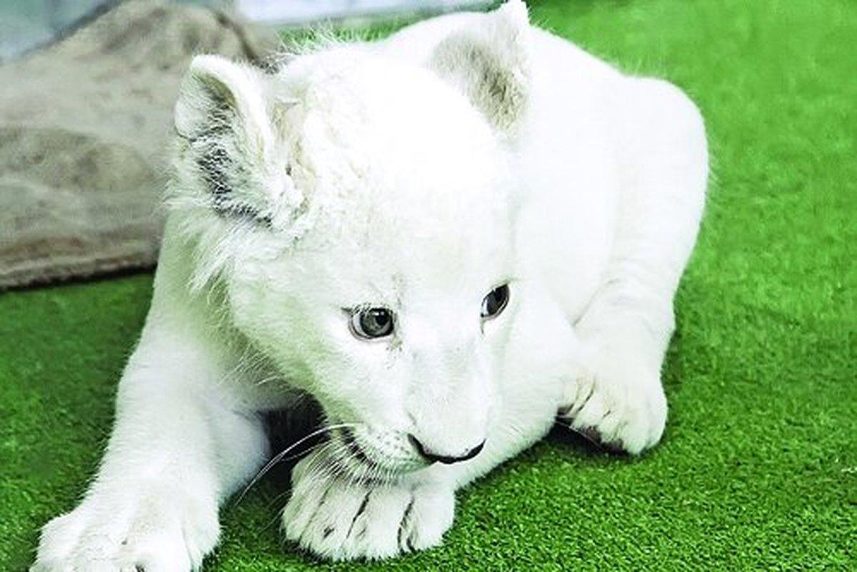 باغ وحش  | سومین توله شیر سفید هویزه هم جان باخت