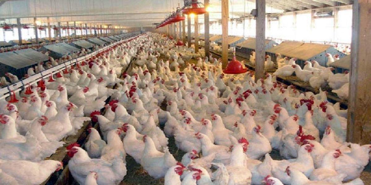قیمت مرغ گران می شود؟
