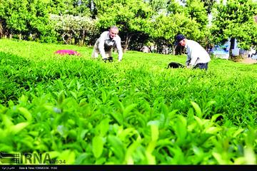 کوچکشدن اراضی سطح زیر کشت چای