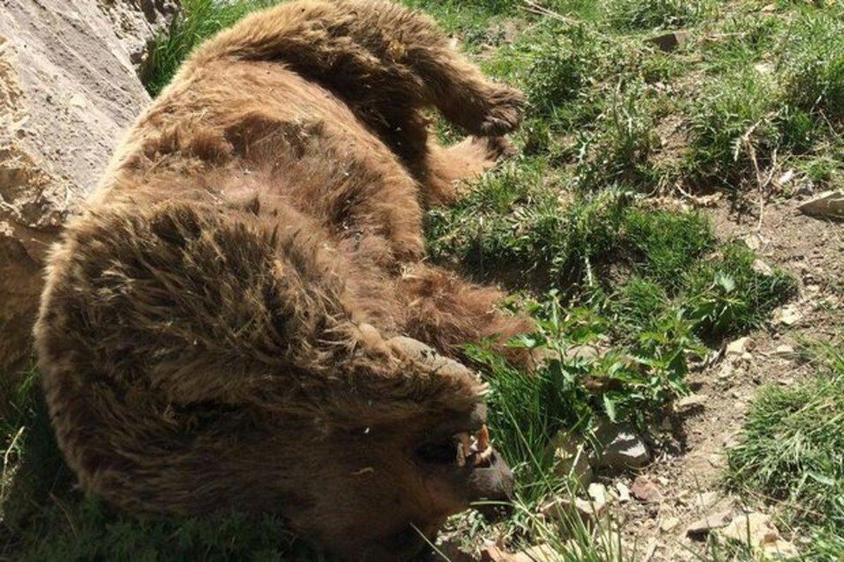 شکار یک قلاده خرس قهوهای در ارتفاعات سمیرم