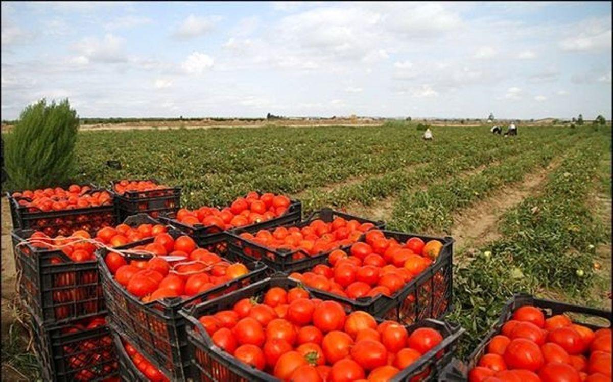 علت افزایش قیمت گوجه فرنگی چیست ؟