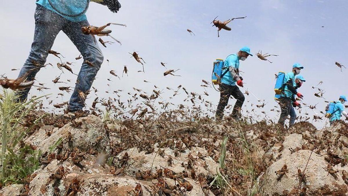 همکاریهای دولت ایران و هند برای مقابله با ملخهای صحرایی