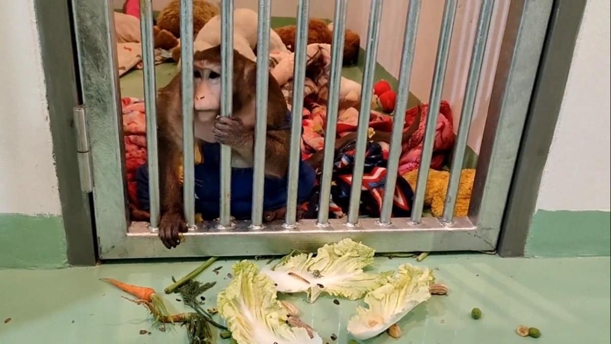 میمون چاق تایلندی باید رژیم غذایی بگیرد