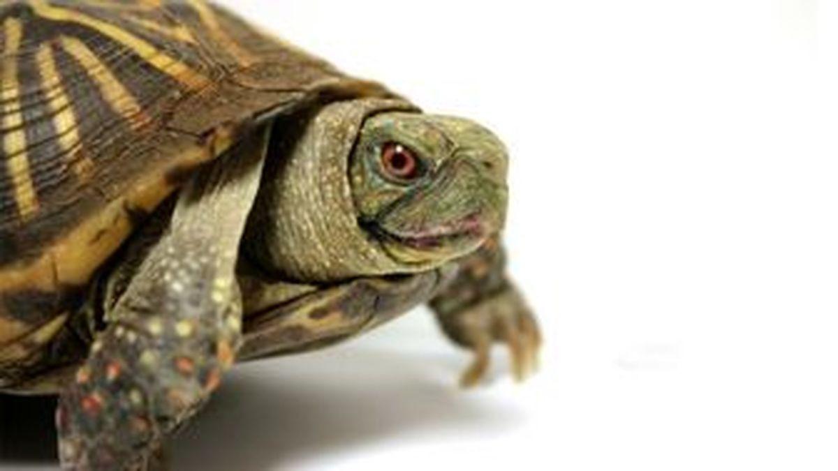 تصویری از یک لاکپشت دوسر نادر +عکس
